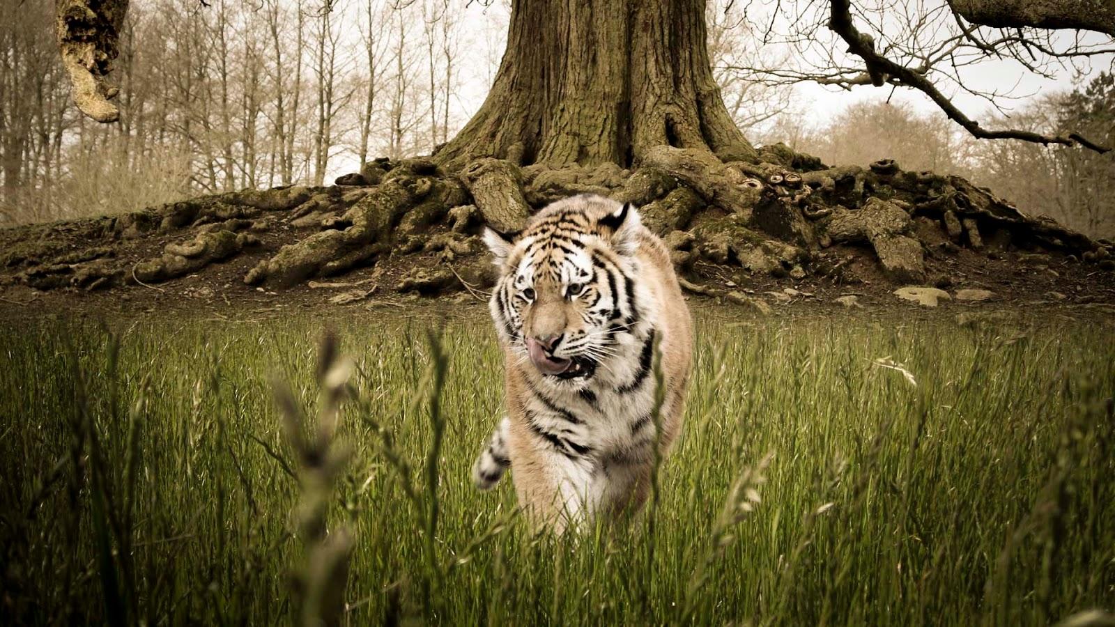 Tigre Salvaje Manipulación